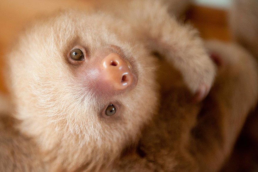 preguicinha-do-sloth-institute-costa-rica-13