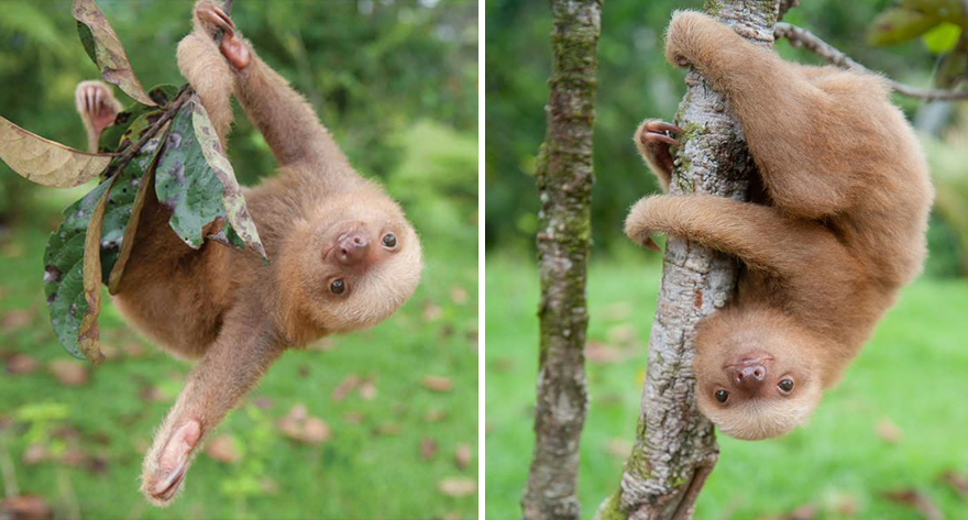 preguicinha-do-sloth-institute-costa-rica-2