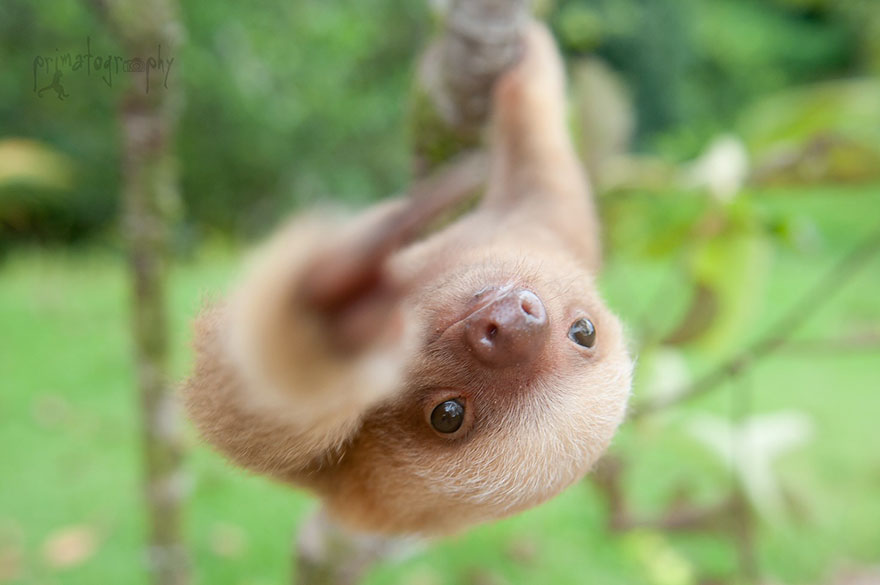preguicinha-do-sloth-institute-costa-rica-5