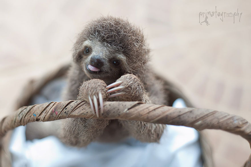 preguicinha-do-sloth-institute-costa-rica-8