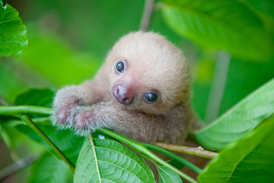 preguicinha-do-sloth-institute-costa-rica
